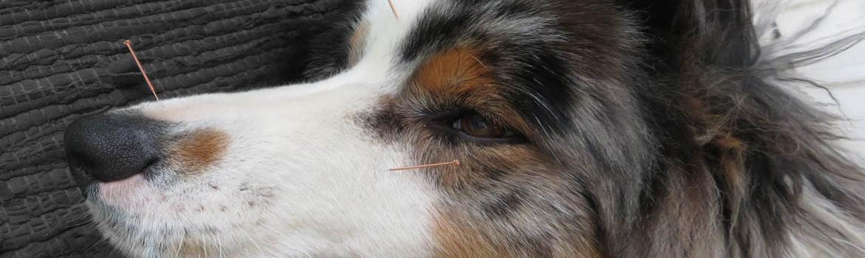 akupunktura živali pes